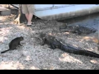 Cat vs Gator