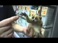 Slow loris with a tiny umbrella